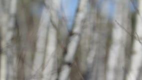 Het bosje van de berk stock videobeelden
