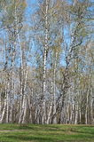 Het bosje van de berk royalty-vrije stock afbeeldingen