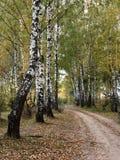 Het bosje van de berk Stock Fotografie