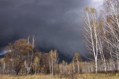 Het bosje van de berk in de herfst Royalty-vrije Stock Foto
