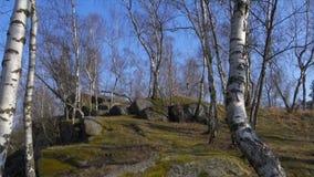 Het bosje van de berk in de lente stock footage