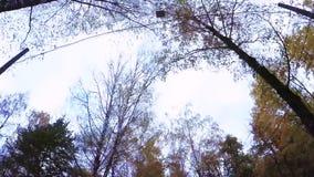 Het bosje van de berk in de herfst stock video