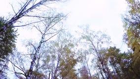 Het bosje van de berk in de herfst stock footage