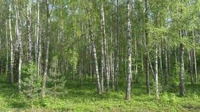 Het bosje van de berk witte boomboomstammen op een groene achtergrond stock videobeelden