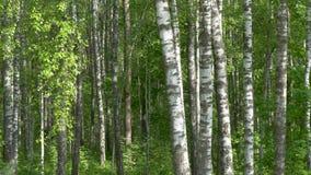 Het bosje van de berk witte boomboomstammen op een groene achtergrond stock video