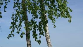 Het bosje van de berk witte boomboomstammen op een groene achtergrond stock footage