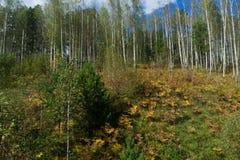 Het bosje van de de herfstberk stock afbeelding