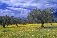Het bosje van de olijf Stock Foto