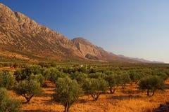 Het bosje van de olijf Stock Afbeelding