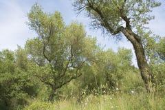 Het bosje van de olijf Stock Afbeeldingen