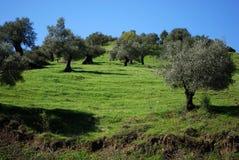 Het bosje van de olijf, Andalusia, Spanje. stock afbeeldingen