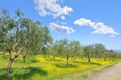 Het bosje van de olijf in het Italiaanse Toscaanse platteland Royalty-vrije Stock Afbeeldingen