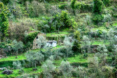 Het bosje van de olijf in Italië stock foto