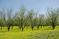 Het Bosje van de pecannoot in de Lente Stock Afbeeldingen
