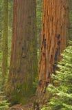 Het Bosje van de sequoia stock foto
