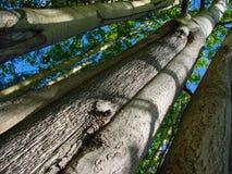 Het bosje van het aspis Royalty-vrije Stock Fotografie