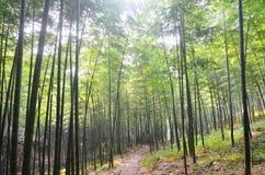 Het bosje van het bamboe stock afbeeldingen