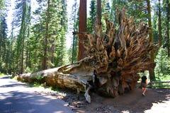 Het Bosje van Mariposa, Nationaal Park Yosemite Royalty-vrije Stock Afbeelding