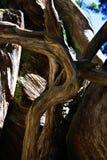 Het Bosje van Mariposa, Nationaal Park Yosemite royalty-vrije stock fotografie
