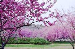 het bosje van pruimbomen met takken in volledige bloem stock afbeeldingen