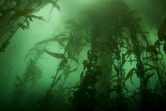 Het BosLandschap van de kelp royalty-vrije stock fotografie