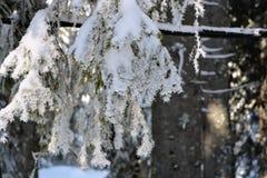 Het boslandschap van de de winterspar Sparrenboomstammen en takken covere Royalty-vrije Stock Afbeeldingen
