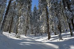 Het boslandschap van de de winterspar Sparrenboomstammen en takken met sneeuw worden behandeld die Skispoor door een sneeuwbos Royalty-vrije Stock Afbeelding