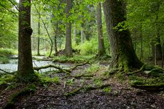 Het boslandschap van de zomer met oud bomen en water Royalty-vrije Stock Afbeelding