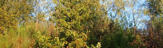 Het BosPanorama van de herfst Stock Afbeeldingen