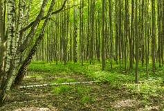 Het bosweglandschap op een zonnige dag van de de lentezomer met gras levende bomen en de groene bladeren bij takken bij een botan stock foto