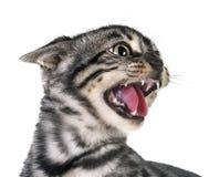 Het boze katje van Bengalen in studio stock afbeelding