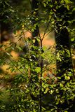 het branden van de rode bladeren van de berkboom in de droge zonnige herfst Royalty-vrije Stock Foto