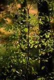 het branden van de rode bladeren van de berkboom in de droge zonnige herfst Stock Foto's