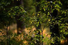 het branden van de rode bladeren van de berkboom in de droge zonnige herfst Stock Foto