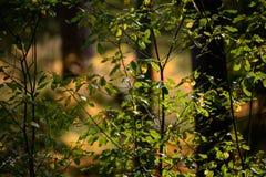 het branden van de rode bladeren van de berkboom in de droge zonnige herfst Stock Afbeeldingen