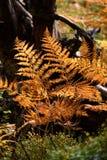 het branden van rode varenbladeren in de droge zonnige herfst met oud droog hout Royalty-vrije Stock Foto