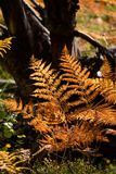 het branden van rode varenbladeren in de droge zonnige herfst met oud droog hout Royalty-vrije Stock Foto's