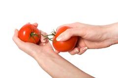 Het breken van handen maakt geïsoleerdel tomaat vast Stock Foto's