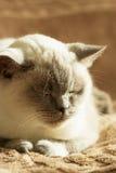Het Britse blauw-punt van de kattenkleur Stock Afbeeldingen