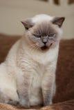 Het Britse blauw-punt van de kattenkleur Royalty-vrije Stock Fotografie