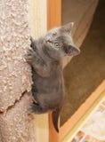 Het Britse blauwe katje beklimt op het krassen van post Royalty-vrije Stock Foto's