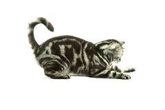 Het Britse kat spelen Stock Afbeeldingen