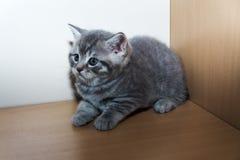 Het Britse katje Stock Fotografie