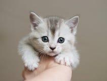 Het Britse katje wordt gehouden in de hand Stock Fotografie