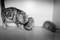 Het Britse katje zit op een plank Stock Afbeeldingen