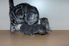Het Britse katje zit op een plank Stock Foto