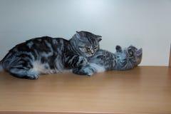 Het Britse katje zit op een plank Royalty-vrije Stock Foto