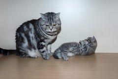 Het Britse katje zit op een plank Stock Foto's