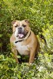 Het Britse Puppy van de Buldog Royalty-vrije Stock Afbeeldingen