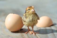 Het broedsel van babykuikens enkel van ei stock afbeeldingen